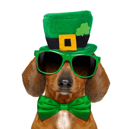 dachshund sausage dog  with st patricks  day hat and sunglasses, isolated on white background