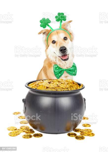 St patricks day dog with pot of gold picture id641586086?b=1&k=6&m=641586086&s=612x612&h=fxkwhtwv j2ztisd8pptns6ytim2jsmjwa z mk jcy=