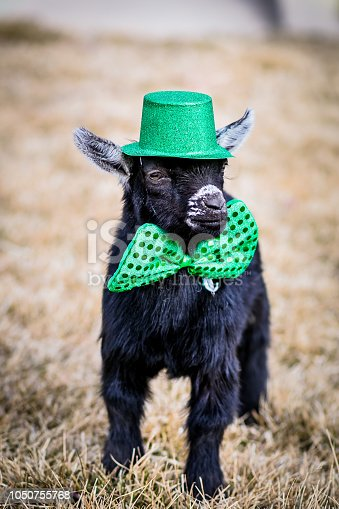 Black baby Pygmy goat dressed up for St. Patrick's Day