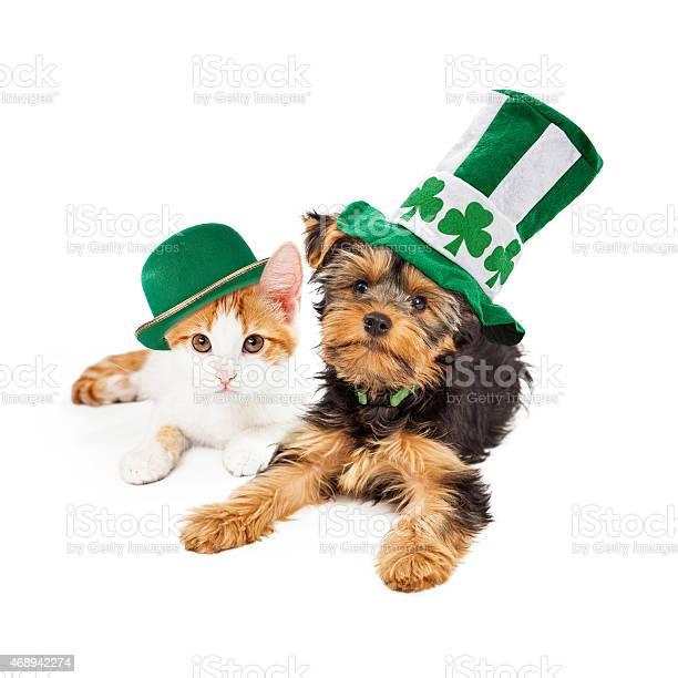 St patricks day puppy and kitten picture id468942274?b=1&k=6&m=468942274&s=612x612&h=ro8pdamtkkscbw1 v0hzy0yu6ywzexi9fv9ac2hrufm=
