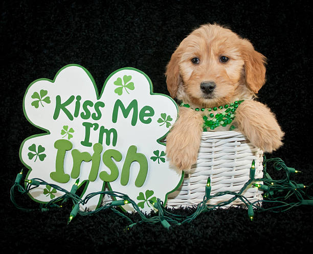 St Patrick's Day Puppy stock photo
