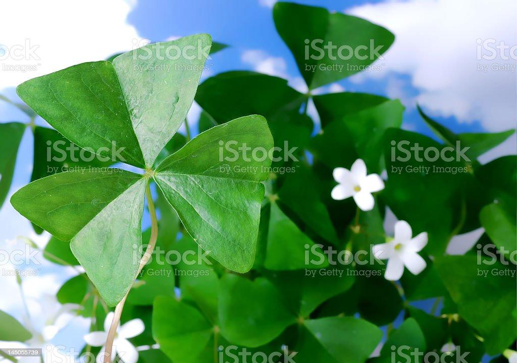 St. Patrick's Day Shamrocks royalty-free stock photo