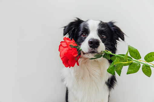 St. Valentine's Day concept. Funny portrait cute puppy dog border collie holding red rose flower in mouth isolated on white background. Lovely dog in love on valentines day gives gift