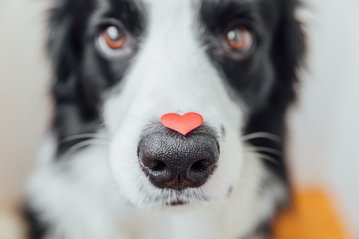 St. Valentine's Day concept. Funny portrait cute puppy dog border collie holding red heart on nose on white background. Lovely dog in love on valentines day gives gift