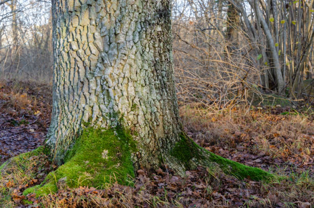 Stable old oak tree root stock photo