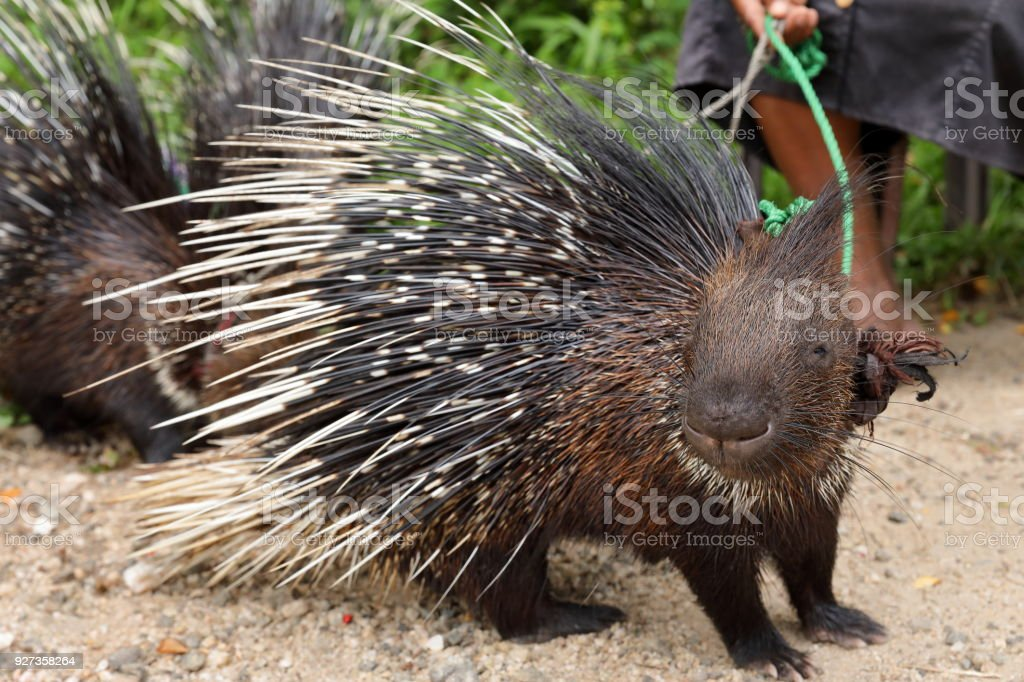 Stachelschwein in Sri Lanka - Royalty-free African Porcupine Stock Photo