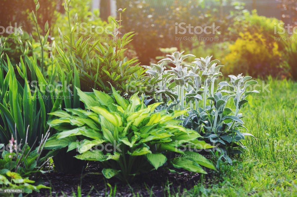 Niederwendischen Byzantina (Lamm Ohren) im Blumenbeet mit Hostas und andere Staude im Garten gepflanzt. Pflanzen mit Silber Laub in der Landschaftsgestaltung - Lizenzfrei Baum Stock-Foto