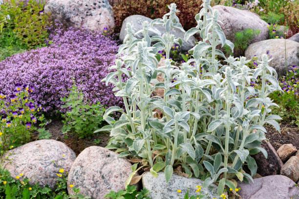 Stachys byzantina Pflanzen bekannt als Lammohren in einem kleinen Felsen im Sommergarten – Foto