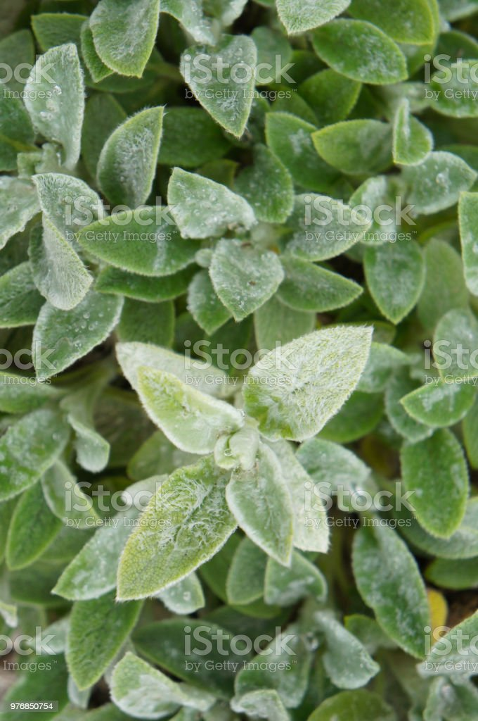 stachys byzantina silver carpet or lamb's ear green plant background royalty-free stock photo