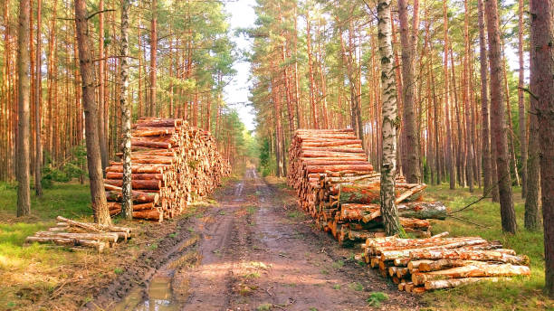 Stack a logs in pine forest. Timber and Firewood as a renewable energy source. Heavy industry. Fuel and power generation. Renewable energy and sustainable development theme. stock photo