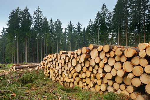 Stack of felled spruce trees