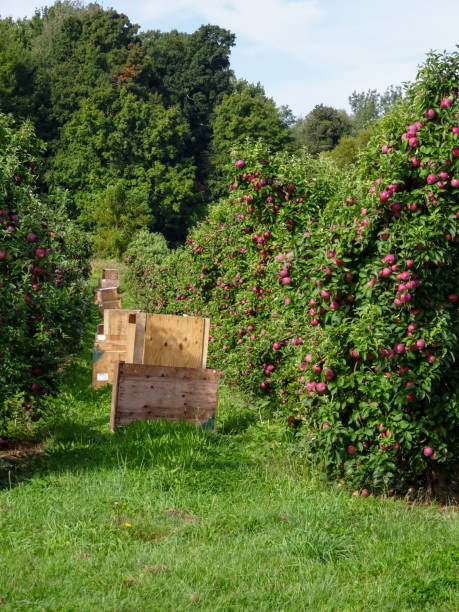 Stacked Apple Crates in Orchard stock photo