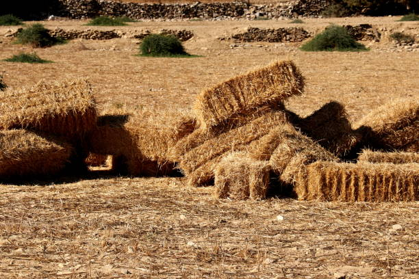 Stacked Straw Hay Bails on the field stock photo