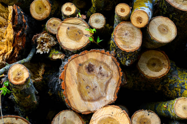 Stacked Wood Logs With Pine Trees stock photo