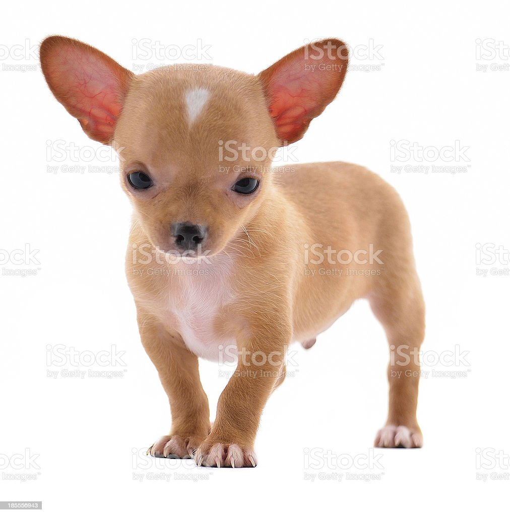 Stacking purebred chihuahua puppy on white background royalty-free stock photo
