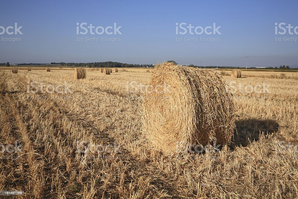Stacks of collected wheat. Sunset royalty-free stock photo