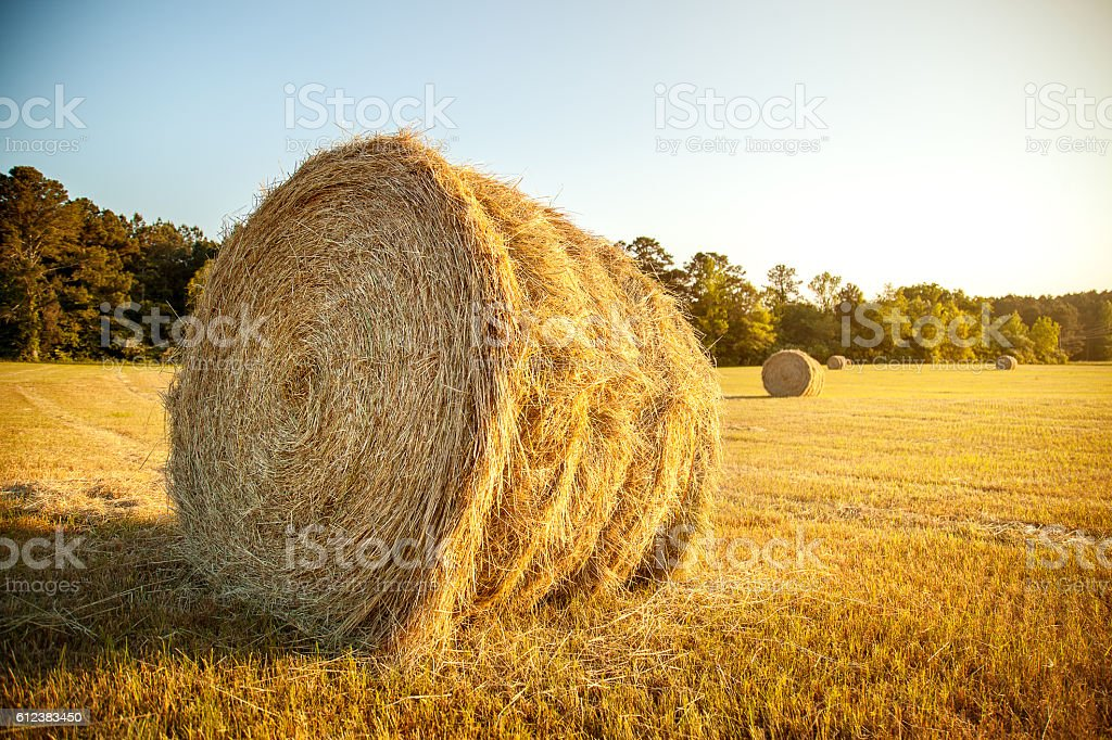 Stacks of straw in the farm field stock photo