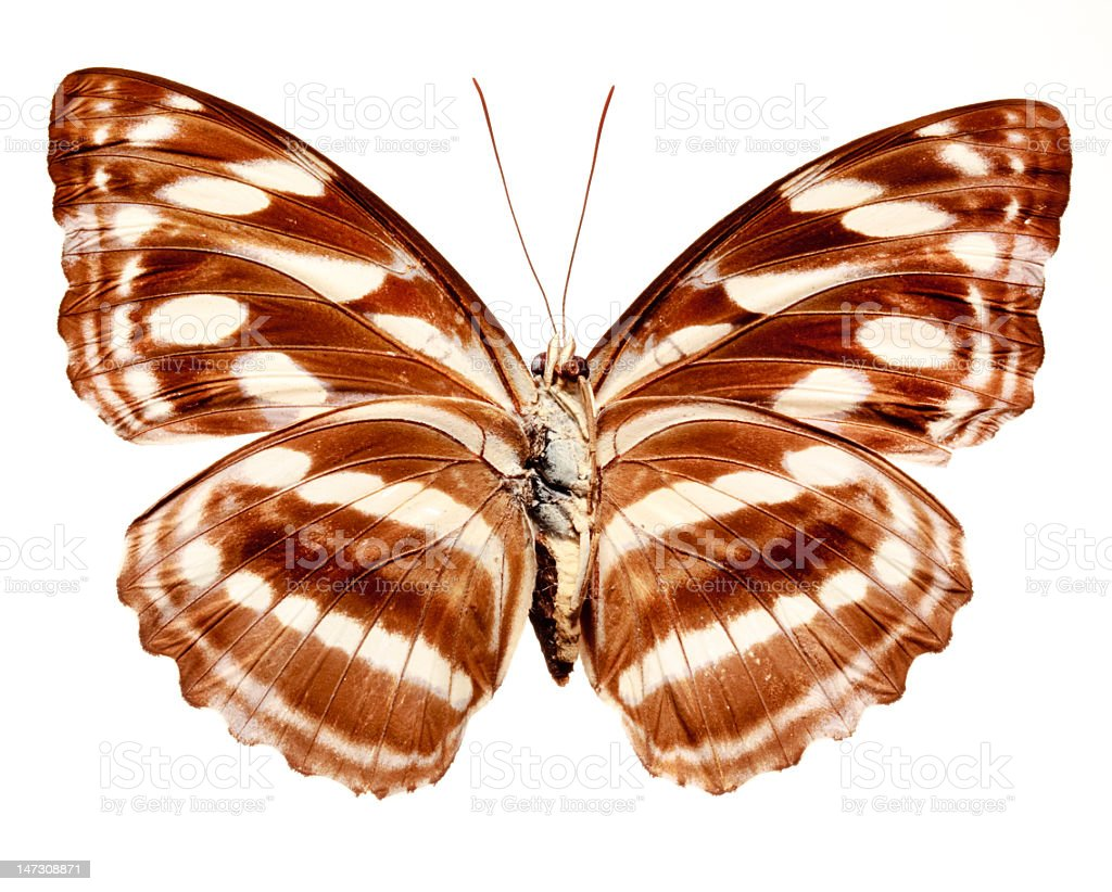 Staff Sargeant Butterfly royalty-free stock photo