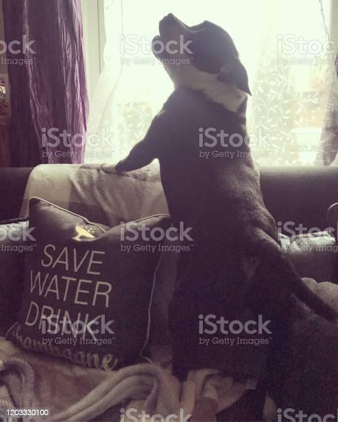 Staffordshire bull terrier bailey picture id1203330100?b=1&k=6&m=1203330100&s=612x612&h=dq2p557u6zdvutmajgerut t u9t8aayhfammvvpy3g=
