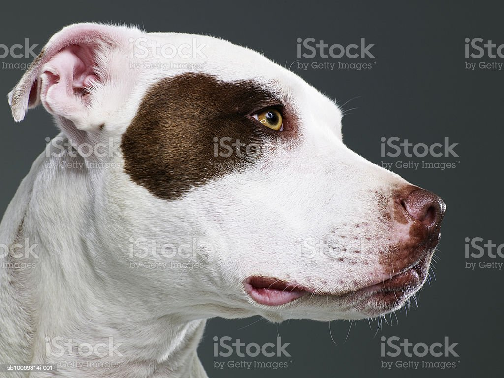 Staffordshire bull terrier, close-up foto de stock royalty-free