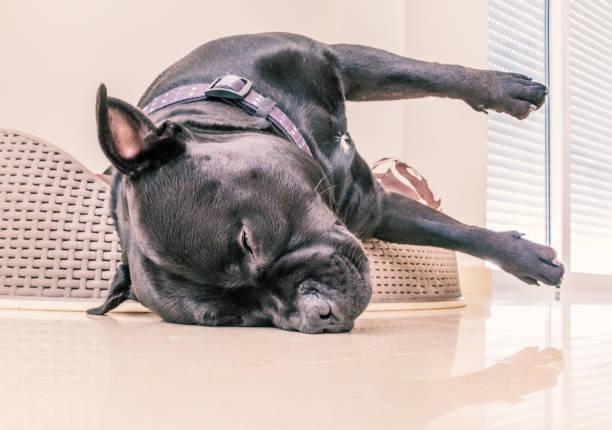 staffordshire bull terrier hund schlafend in einem kunststoff bett mit kissen - fliesen verlegen stock-fotos und bilder