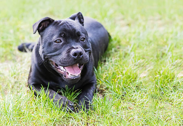 Staffordshire bull terrier dog lying down outisde stock photo