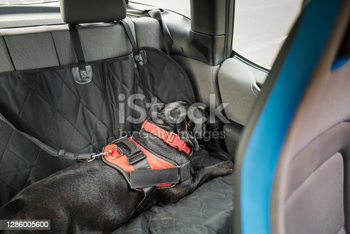 Staffordshire Bull Terrier dog lying down sleeping on the back seat of a car. He is weating a harness which is secured with a clip and strap. He is lying on a dog seat cover.