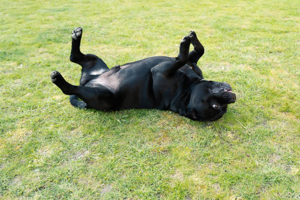 Staffordshire Bull Terrier dog lying on his back on grass with his feet in the air half way through a roll stock photo