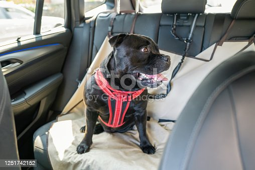 Staffordshire Bull Terrier dog on the back seat of a car with a clip and strap attached to his harness. He is sitting on a car seat cover.