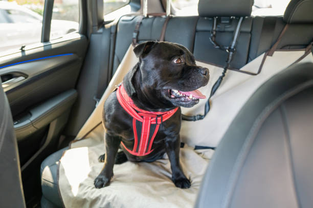Staffordshire Bull Terrier dog on the back seat of a car with a clip and strap attached to his harness. He is sitting on a car seat cover. stock photo