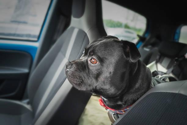 Staffordshire Bull Terrier Hund sitzt auf einem Rücksitz eines Autos befestigt über einen Gurt blickdurch die Vordersitze in Richtung der Frontscheibe. – Foto