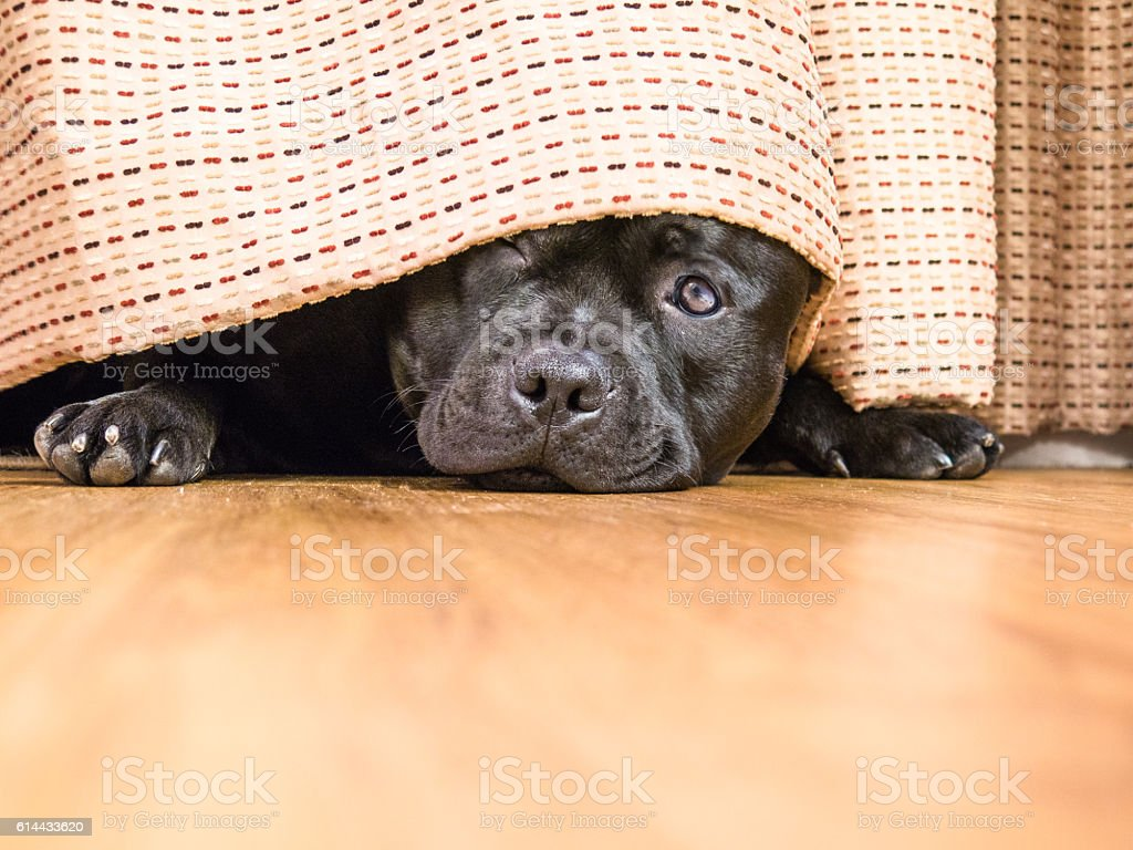 Staffordshire Bull Terrier hding under a curtain, drape. stock photo