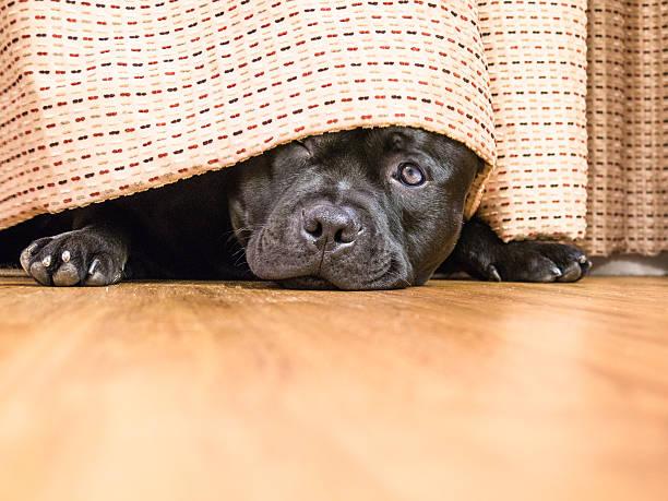 Staffordshire Bull Terrier hding under a curtain, drape. - foto de stock