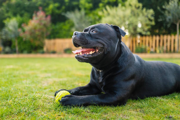 Staffordshire Bull Terrier lying on grass in profile holding a tennis ball. He is on grass and there is a picket fence behind him. stock photo