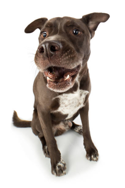 Staffordshire bull terrier mixed breed dog fighting dog list dog sits and barks catches funny treat laughs Staffordshire Bullterrier Mischling Hund Kampfhund Listenhund sitzt und bellt fängt lustig Leckerlie lacht zähne stock pictures, royalty-free photos & images