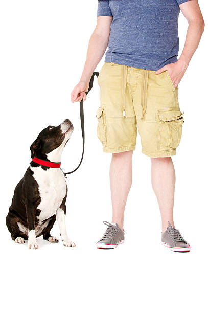Staffordshire Bull Terrier on lead stock photo