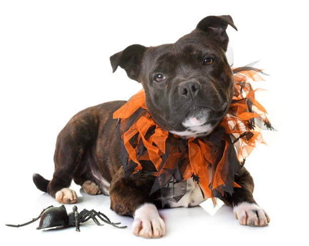 staffordshire bull terrier - hund spinnenkostüm stock-fotos und bilder