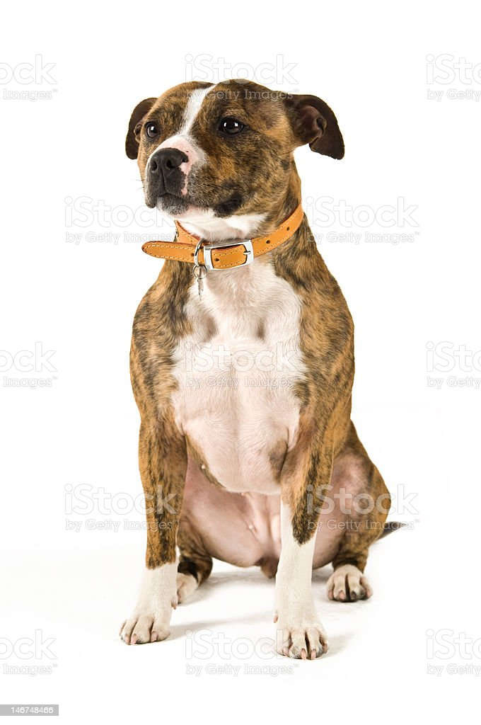 Staffordshire Bull Terrier stock photo