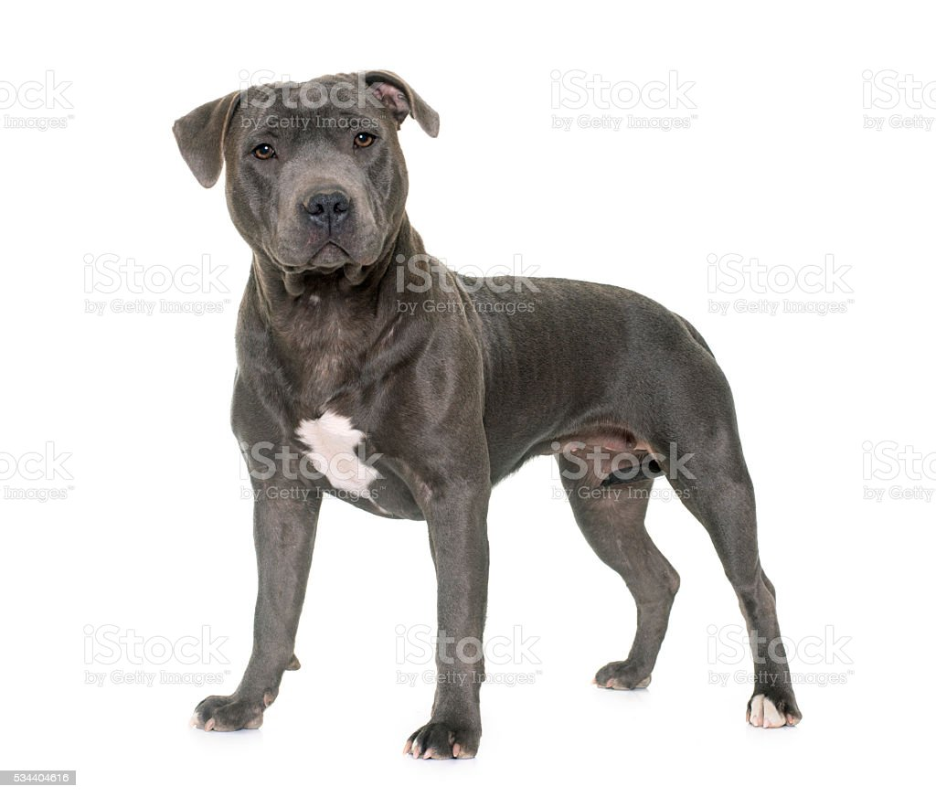 Staffordshire Bull Terrier Stock Photo Download Image Now Istock