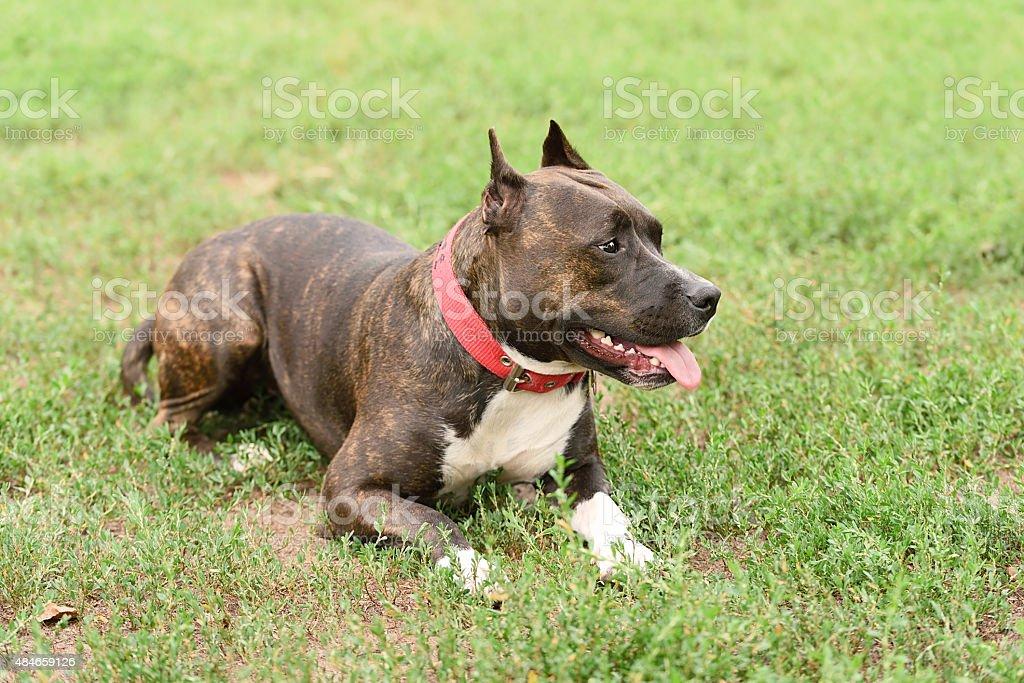 Staffordshire bull terrier portrait stock photo