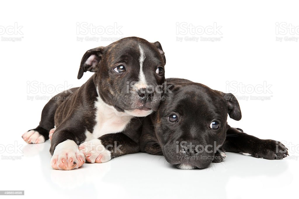 Staffordshire bull terrier puppies stock photo