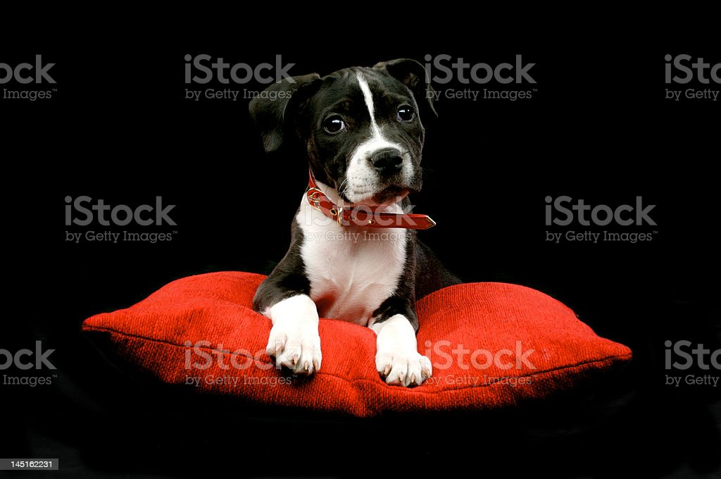 Staffordshire bull terrier Puppy dog sat on a red cushion stock photo