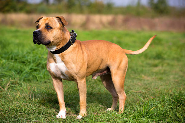 Staffordshire Bull Terrier standis against summer meadow stock photo