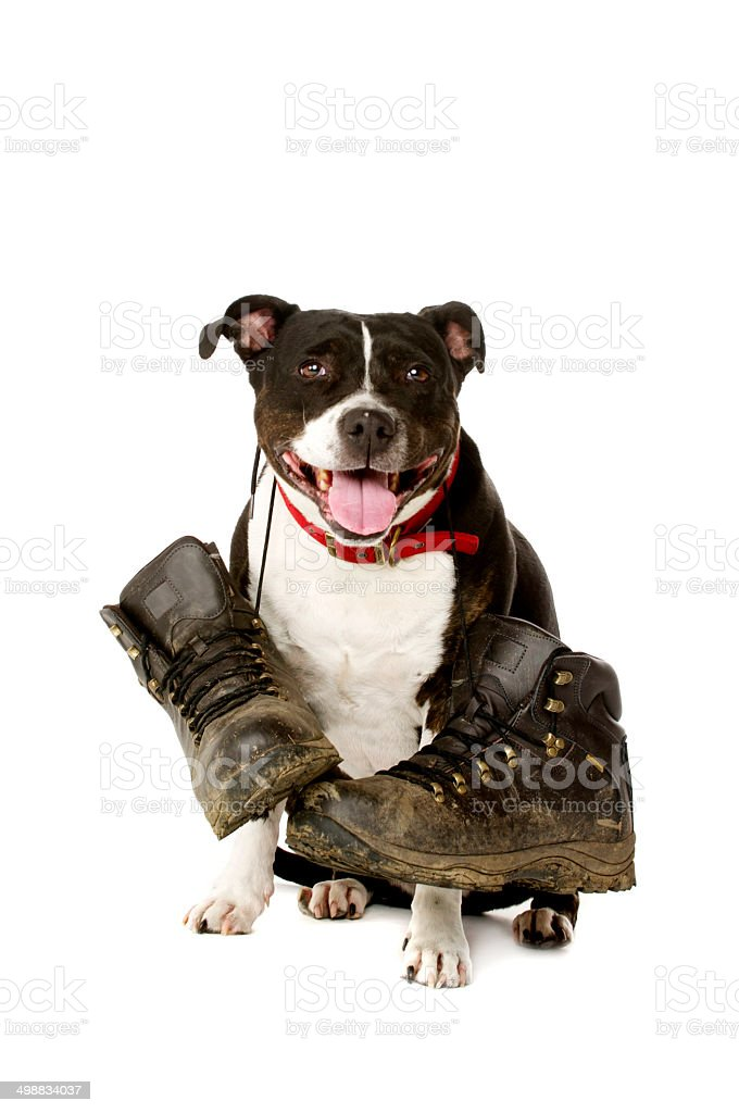 Staffordshire Bull Terrier with walking boots stock photo