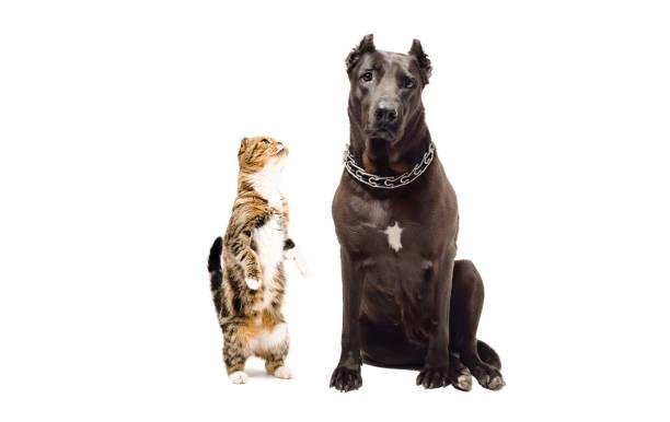 Staffordshire terrier and funny cat scottish fold picture id910314296?b=1&k=6&m=910314296&s=612x612&w=0&h=mmfxz1tua02ezyjjcljde9ttbxofd0pentwkra1hrkm=