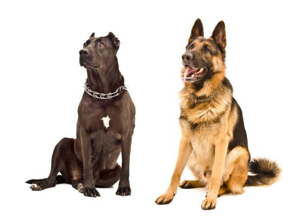 Staffordshire terrier and german shepherd sitting together picture id1011729172?b=1&k=6&m=1011729172&s=612x612&w=0&h=ekf58eoplcdzdjdbbcqai0ctqbsodxcznigbv3puprm=