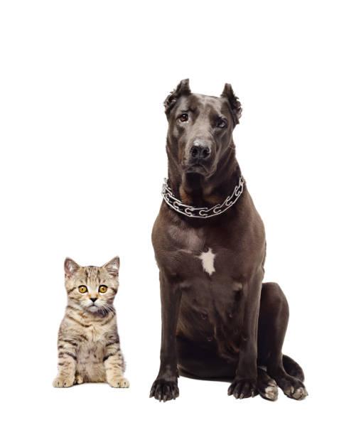 Staffordshire terrier and kitten scottish straight sitting together picture id898917252?b=1&k=6&m=898917252&s=612x612&w=0&h=hjd2vygfsbeex8jnnidpjrpqoz8nv suqpsmwvr4gqm=