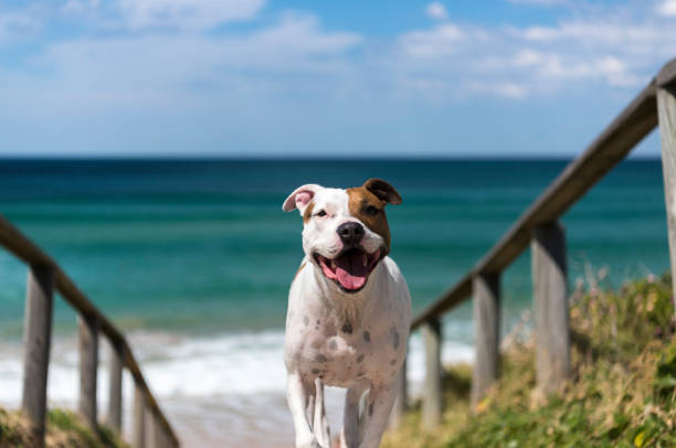 Staffordshire Terrier by the sea