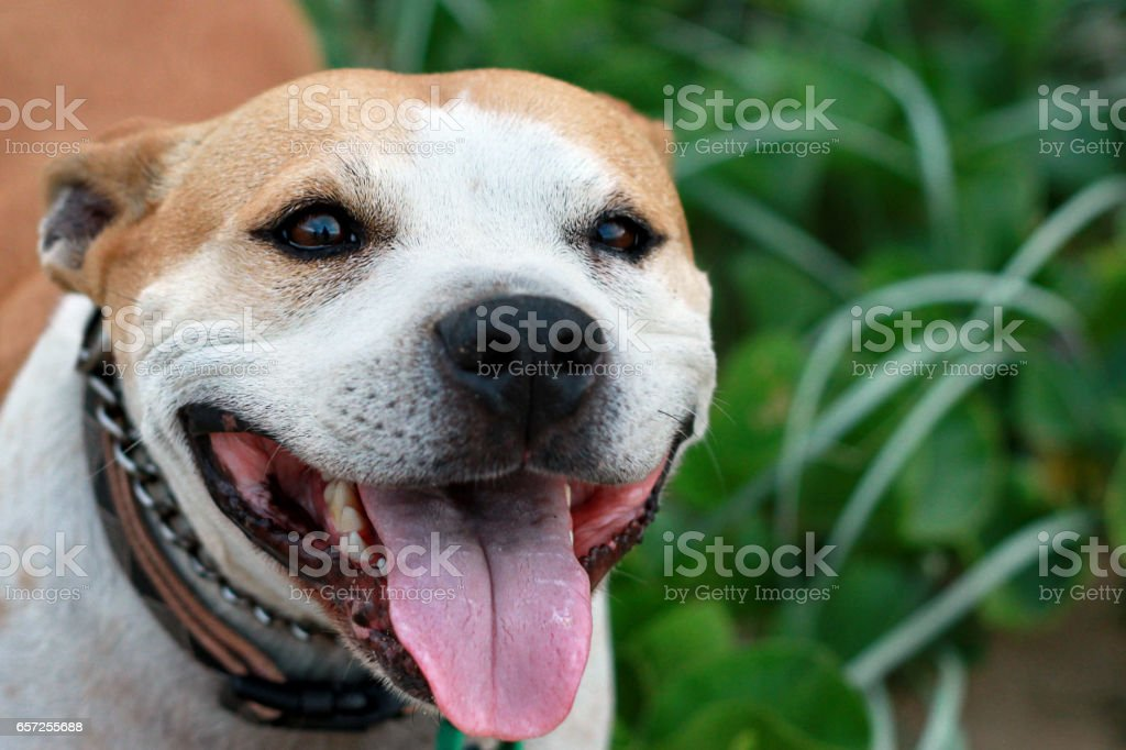 Staffordshire Terrier Dog Close Up Happy Face Among Beach Foliage stock photo