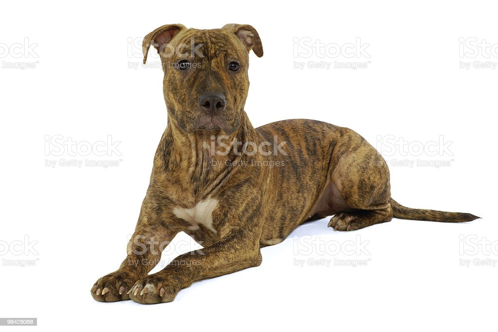 Staffordshire terrier cane foto stock royalty-free